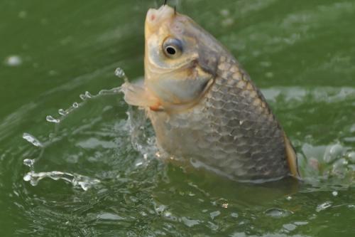 Зарыбление водоема карасем